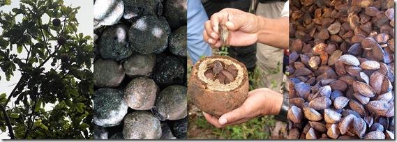 noix du Bresil de la rcolte thumb Noix du Brésil : un coup de pouce pour lhiver !