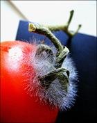 tomate moisie par c real FlickRjpg thumb Les Français et le gaspillage alimentaire
